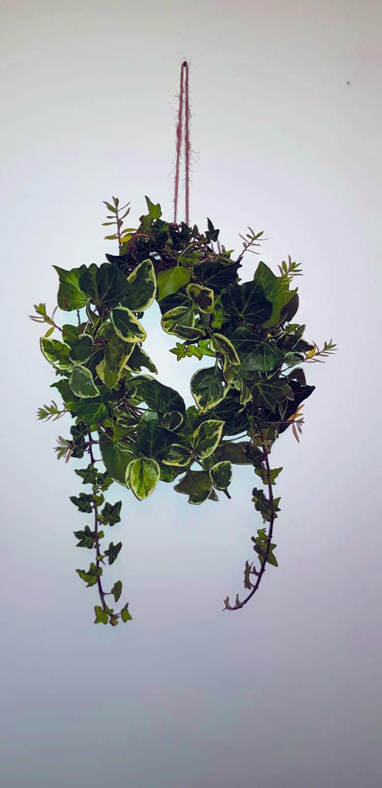 Ivy-Wreath